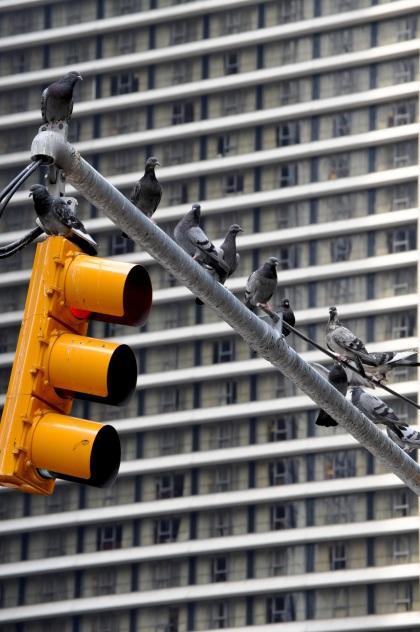 Times Square Birds - New York City, New York