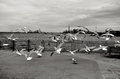 Bay Ridge Birds - New York City, New York