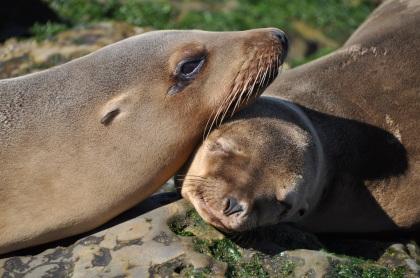 sea-lions-t