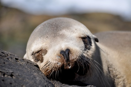 Sleeping Sea Lion T